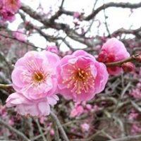 矢掛観照寺の梅